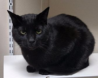 Domestic Shorthair Cat for adoption in Fremont, Ohio - Boone