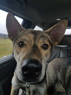 Dutch Shepherd/Belgian Malinois Mix Dog for adoption in Louisville, Kentucky - Spartan