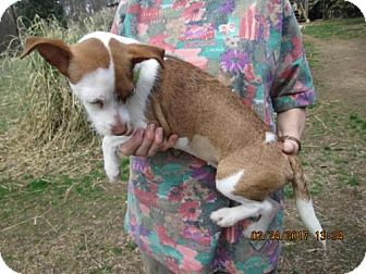 Chihuahua/Dachshund Mix Dog for adoption in Rutherfordton, North Carolina - PEANUT