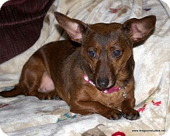 Dachshund/Pomeranian Mix Dog for adoption in Spokane, Washington - Snickers-6 yrs,7 pds, $250 fee