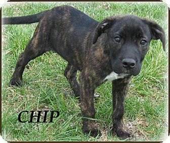 Boxer/Mountain Cur Mix Puppy for adoption in Marlborough, Massachusetts - Chip