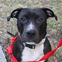 American Pit Bull Terrier/Labrador Retriever Mix Dog for adoption in Livonia, Michigan - Mara