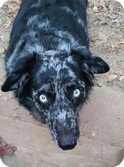 Australian Cattle Dog/Australian Shepherd Mix Dog for adoption in Brattleboro, Vermont - Bogle
