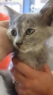 Domestic Mediumhair/Domestic Shorthair Mix Cat for adoption in Greenville, Kentucky - Bunny