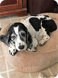 Cocker Spaniel Mix Dog for adoption in Sacramento, California - Sophie