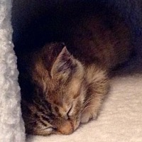 Adopt A Pet :: Abi - Leonardtown, MD