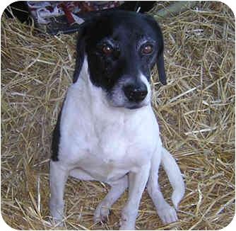 Beagle/Pointer Mix Dog for adoption in Columbus, Ohio - ELSIE