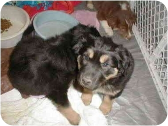 Anatolian Shepherd/Rottweiler Mix Puppy for adoption in Cincinnati, Ohio - Donut