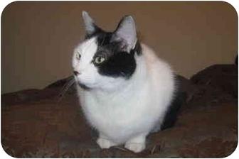 Domestic Mediumhair Cat for adoption in Worcester, Massachusetts - Oreo