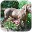 Photo 3 - Labrador Retriever Mix Puppy for adoption in Cumming, Georgia - Arnold