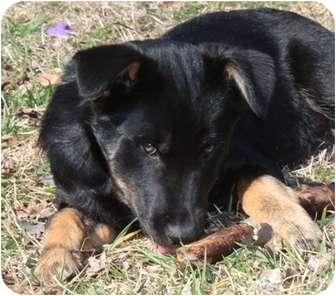 Australian Shepherd Mix Puppy for adoption in Salem, New Hampshire - Usher