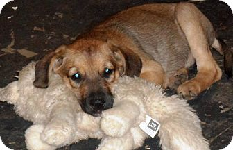 Hound (Unknown Type) Mix Puppy for adoption in Bedminster, New Jersey - Meme