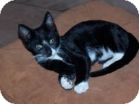Domestic Shorthair Kitten for adoption in Tampa, Florida - Jimmie