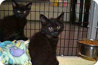 Domestic Mediumhair Kitten for adoption in Edwardsville, Illinois - Thutston