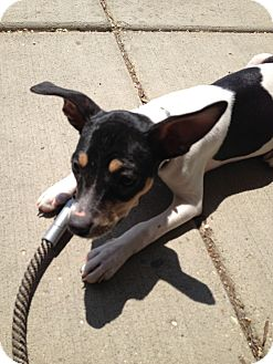 Rat Terrier Mix Puppy for adoption in Glenview, Illinois - Lexi