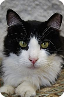 Domestic Shorthair Cat for adoption in Seymour, Connecticut - PHOENIX