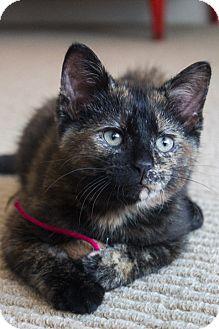 Domestic Shorthair Kitten for adoption in Chicago, Illinois - Fuzzy Bear