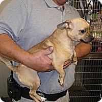 Adopt A Pet :: Chewee - Fort Scott, KS