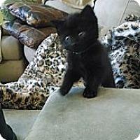 Adopt A Pet :: Artemis (bottle fed) - Sterling Hgts, MI
