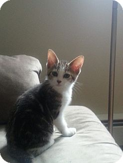Domestic Shorthair Kitten for adoption in Franklin, Indiana - Scarlet