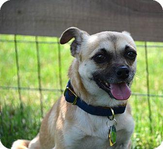 Chihuahua/Pug Mix Dog for adoption in Beavercreek, Ohio - ARTIE