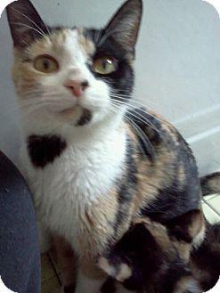 American Shorthair Cat for adoption in Palatine, Illinois - Joni