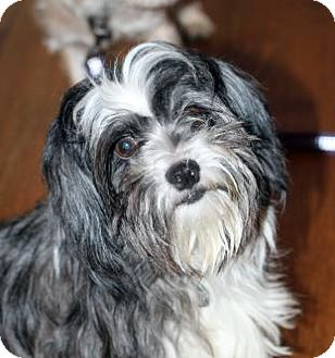 Shih Tzu Mix Dog for adoption in Atlanta, Georgia - Gina