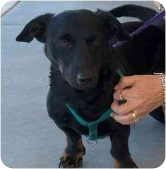 Dachshund Mix Dog for adoption in Winfield, Kansas - Chaser