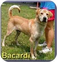 Labrador Retriever Mix Dog for adoption in Aldie, Virginia - Bacardi