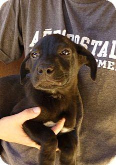 Labrador Retriever Mix Puppy for adoption in Oviedo, Florida - Peter