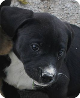 Labrador Retriever Mix Puppy for adoption in Colonial Heights, Virginia - Lora