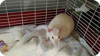 Rat for adoption in Winchester, Virginia - Thor