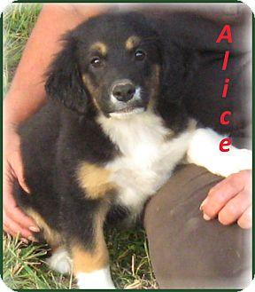 Australian Shepherd/Collie Mix Puppy for adoption in Marlborough, Massachusetts - AliceADOPTION PENDING