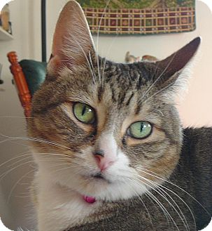Domestic Shorthair Cat for adoption in Springfield, Pennsylvania - Brooke