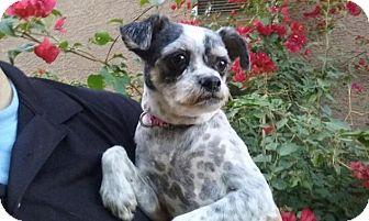 Shih Tzu Mix Dog for adoption in Gilbert, Arizona - Lexi