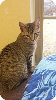 Domestic Shorthair Cat for adoption in Yukon, Oklahoma - Marco