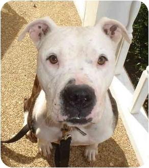 Pit Bull Terrier Dog for adoption in Harvard, Massachusetts - Winchester