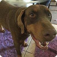 Adopt A Pet :: Dobie - Newcastle, OK