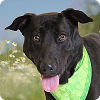 Retriever (Unknown Type)/Labrador Retriever Mix Dog for adoption in Chico, California - Addi