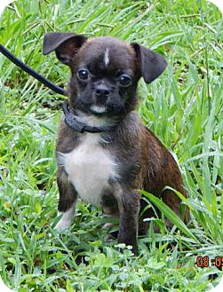 Pug/Terrier (Unknown Type, Small) Mix Puppy for adoption in West Sand Lake, New York - Rocky (3 lb) Video!