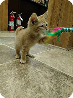 American Shorthair Kitten for adoption in Shelbyville, Tennessee - Cash