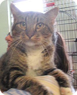 Domestic Shorthair Cat for adoption in Reeds Spring, Missouri - Oakley