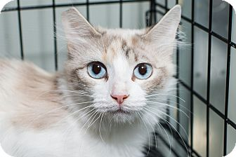 Siamese Cat for adoption in Los Angeles, California - Moonstone