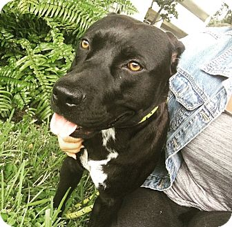 Labrador Retriever/Terrier (Unknown Type, Medium) Mix Puppy for adoption in Miami, Florida - Pacino