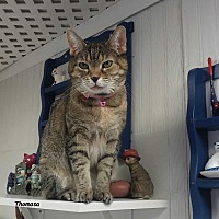 Domestic Shorthair Cat for adoption in Brightwaters,, New York - Thomasa