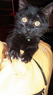 Domestic Shorthair Kitten for adoption in Lancaster, California - Froggy