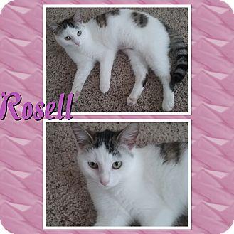 Domestic Shorthair Kitten for adoption in Cedar Springs, Michigan - Rosell