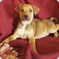 Adopt A Pet :: Katie's Puppy 6 - Pompton Lakes, NJ