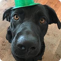 Adopt A Pet :: Rollo - Brattleboro, VT