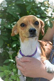 Jack Russell Terrier/Chihuahua Mix Dog for adoption in Danbury, Connecticut - Truvie